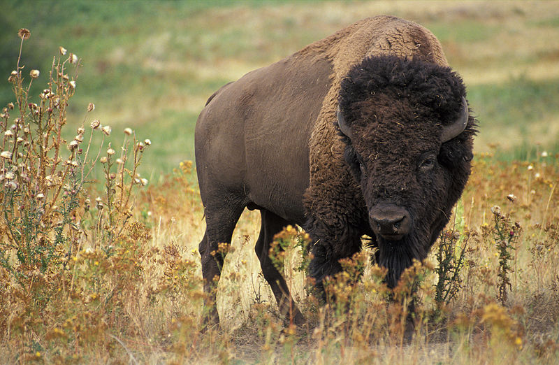 American Bison. wikimediacommons