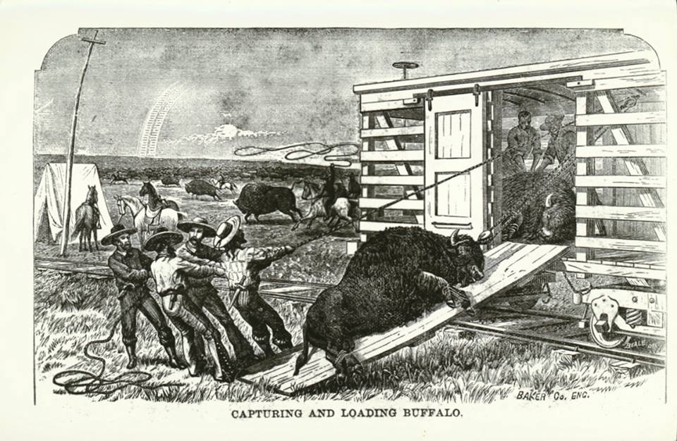 Men from Philip's ranch loading buffalo on to a train car. The Buffalo King
